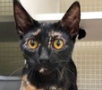 A picture of #ET02617: Mele a Domestic Short Hair tortie