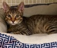 A picture of #ET02619: Rabi a Domestic Short Hair brown tabby