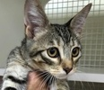 A picture of #ET02620: Hadi a Domestic Short Hair brown/white tabby