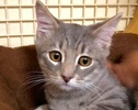 A picture of #ET02621: Kion a Domestic Short Hair sliver tabby