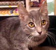 A picture of #ET02622: Vitania a Domestic Short Hair silver tabby