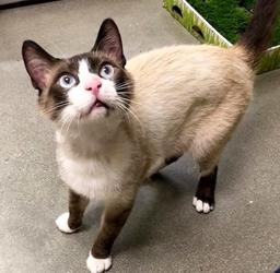 [picture of Nacho Belgrande, a Siamese snowshoe cat]