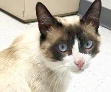 [picture of Nacho Belgrande, a Siamese snowshoe\ cat]