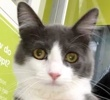 A picture of #ET02624: Dilyn a Maine Coon-x blue/white