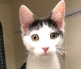 A picture of #ET02625: Tommo a Domestic Short Hair white/black