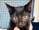 A picture of #ET02626: Hyland a Domestic Short Hair black