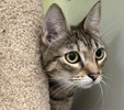 A picture of #ET02627: Rita a Domestic Short Hair gray tabby