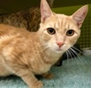 A picture of #ET02628: Rojo a Domestic Short Hair orange tabby