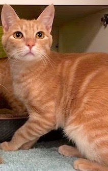 [another picture of Rojo, a Domestic Short Hair orange tabby\ cat]