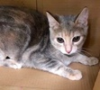A picture of #ET02629: Aura a Domestic Short Hair silver tabby