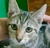 A picture of #ET02630: Marta a Domestic Short Hair grey marble tabby