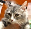 A picture of #ET02631: Don Juan a Domestic Long Hair silver/white