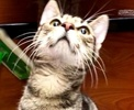 A picture of #ET02632: Don Jose a Domestic Short Hair grey tabby