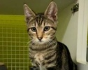 [picture of Don Jose, a Domestic Short Hair brown tabby cat]