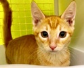 A picture of #ET02633: Javier a Domestic Short Hair orange tabby