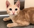 A picture of #ET02634: Julio a Domestic Short Hair orange