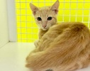 [picture of Julio, a Domestic Short Hair light orange marble cat]