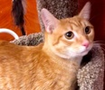 A picture of #ET02635: Hector a Domestic Short Hair orange darker