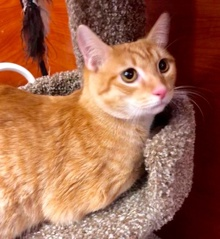 [another picture of Javier, a Domestic Short Hair orange tabby\ cat]