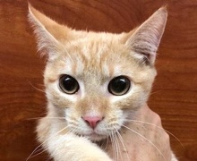 [picture of Javier, a Domestic Short Hair orange tabby\ cat]
