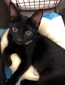 [another picture of Black, a Domestic Short Hair black\ cat]