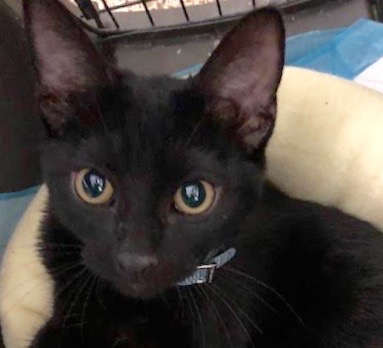 [picture of Black, a Domestic Short Hair black\ cat]