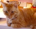 A picture of #ET02637: Major a Domestic Short Hair orange