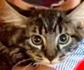 A picture of #ET02638: Hondo a Maine Coon-x gray
