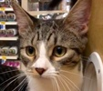A picture of #ET02639: Genie a Domestic Medium Hair gray tabby/white