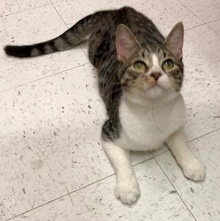 [another picture of Genie, a Domestic Medium Hair gray tabby/white\ cat]