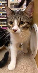 [picture of Genie, a Domestic Medium Hair gray tabby/white cat]
