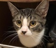 A picture of #ET02640: Hondi a Domestic Medium Hair gray tabby/white