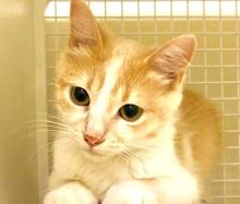 [picture of Ozzi, a Domestic Medium Hair buff/white\ cat]