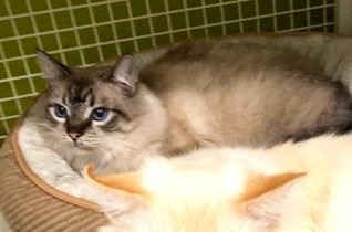 [another picture of Jaunito, a Ragdoll Mix seal point\ cat]