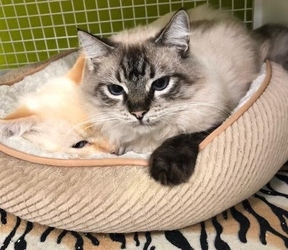 [picture of Jaunito, a Ragdoll Mix seal point cat]
