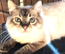 [picture of Jaunito, a Ragdoll Mix seal point\ cat]