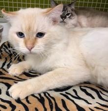 [picture of Segio, a Ragdoll Mix buff point cat]