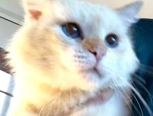 [picture of Segio, a Ragdoll Mix buff point\ cat]