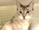 A picture of #ET02645: Luccia a Siamese Mix lynx point