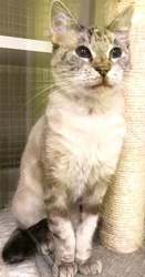 [picture of Luccia, a Siamese Mix lynx point cat]