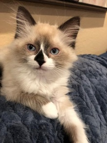 [another picture of Baloo, a Ragdoll Mix snowshoe\ cat]