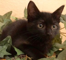 [another picture of Bagerra, a Ragdoll Mix smoke/black\ cat]