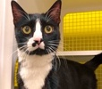 A picture of #ET02649: Marx a Domestic Short Hair black/white