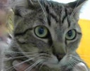 A picture of #ET02650: Manximo a Domestic Short Hair gray tabby