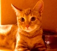 A picture of #ET02651: Kitters a Domestic Short Hair orange marble tabby