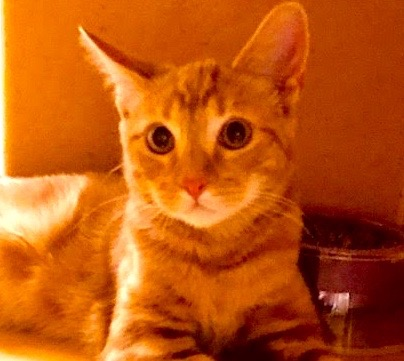 [picture of Kitters, a Domestic Short Hair orange marble tabby\ cat]