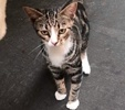 A picture of #ET02653: Mira a Domestic Short Hair black marble/white