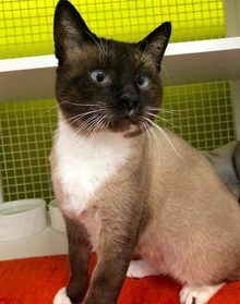 [another picture of Arthur, a Siamese sealpoint/snow shoe\ cat]