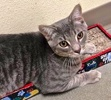 A picture of #ET02655: Simpkin a Domestic Short Hair silver tabby