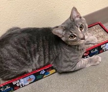 [another picture of Simpkin, a Domestic Short Hair silver tabby\ cat]